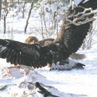 Golden Eagle vs. Wolf - 2