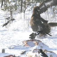 Golden Eagle vs. Wolf - 4