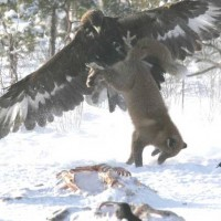 Golden Eagle vs. Wolf - 5