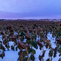 """Blue Hour Winter Sunflowers"""